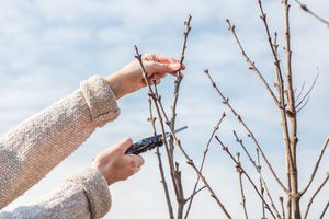person wearing sweater cuts bare shrub branches against blue sky