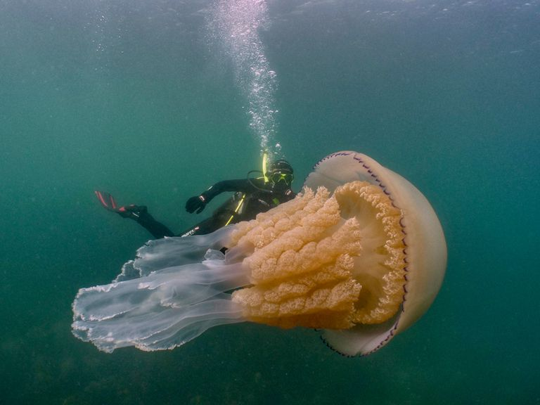 A barrel jellyfish swimming in the ocean with a diver
