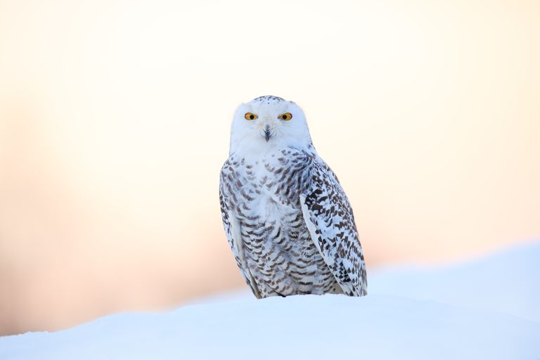 Snowy owl in a snowbank