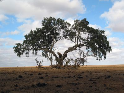 An extremely old tree in the middle of dry land
