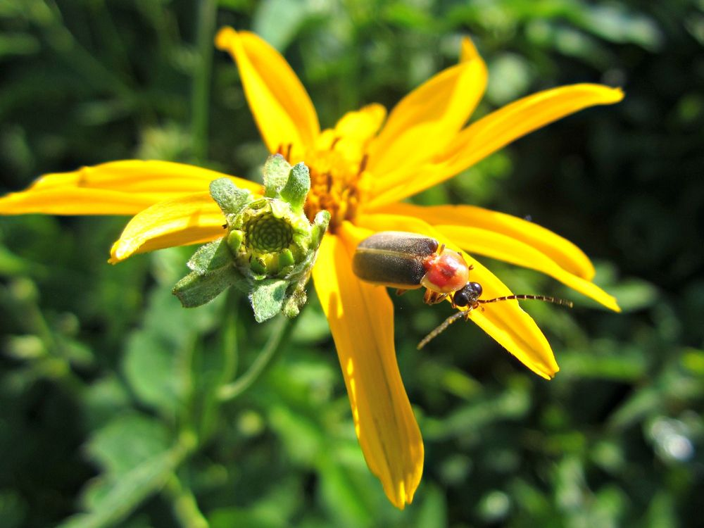 firefly sitting on yellow aster flower