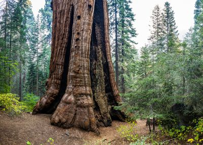 Stagg Tree, a giant sequoia at Alder Creek grove