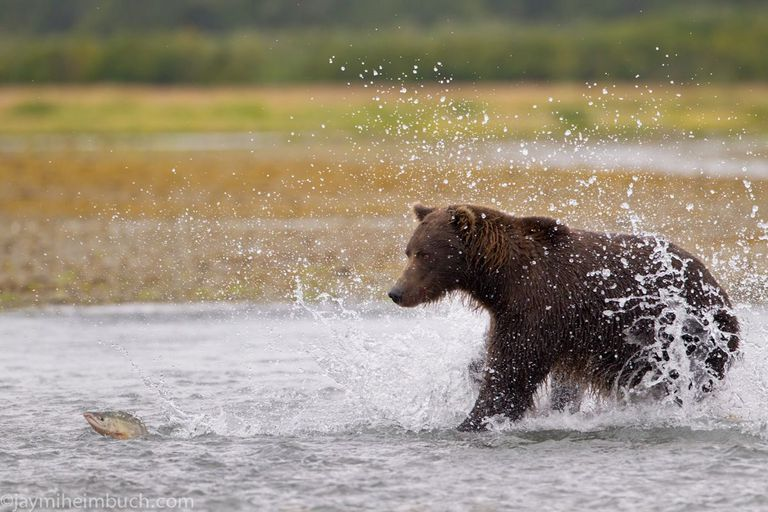 Grizzly bear going after a fish in shallow water