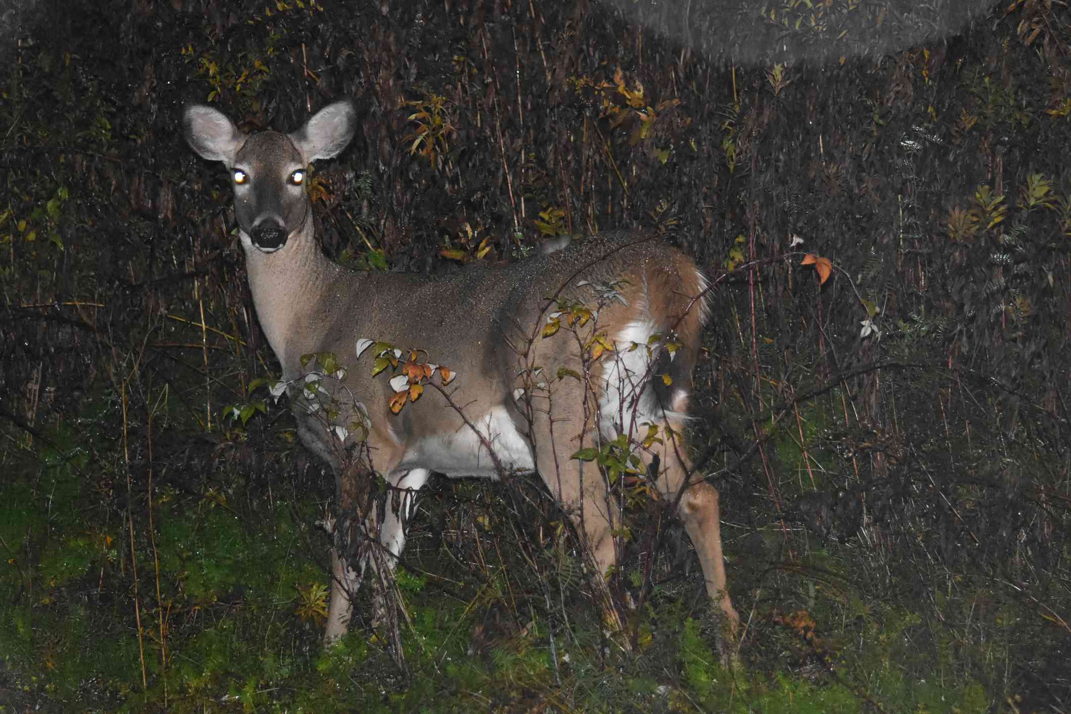 white-tailed deer with glowing eyes