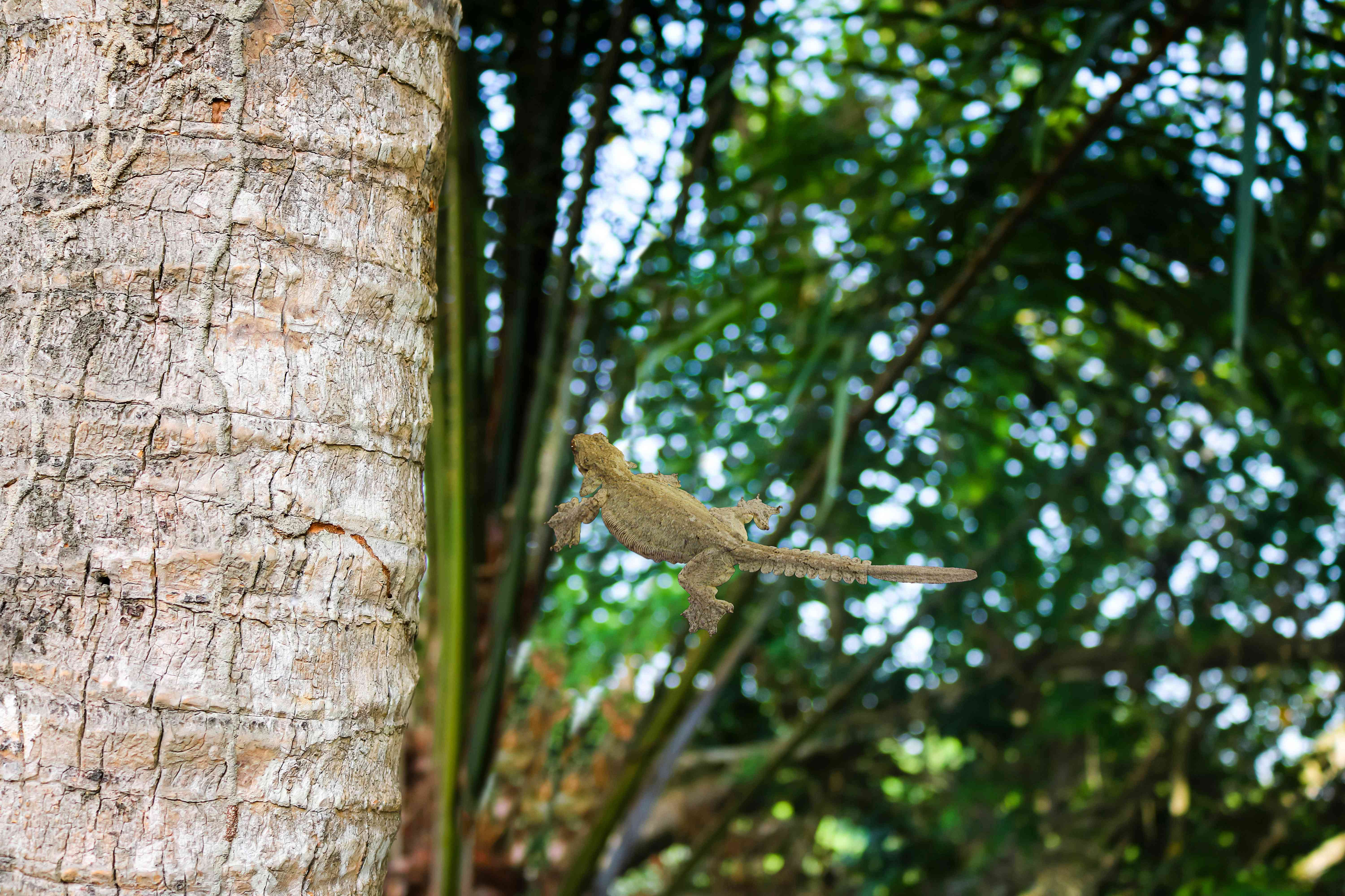 A gliding gecko uses its webbed skin to