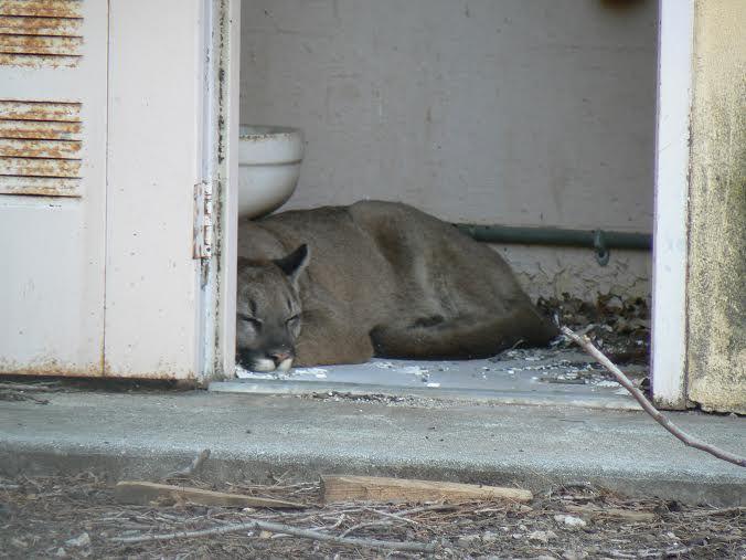 sleeping mountain lion, aka puma or cougar