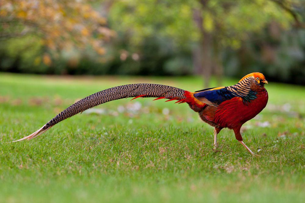 The golden pheasant birds struts in grass in outdoor park
