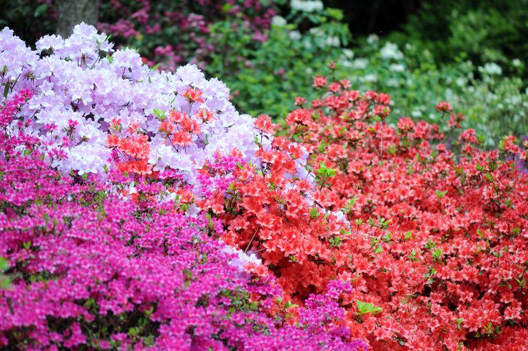Various colors of azaleas growing as a shrub