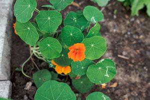 orange flowered nasturtium grows in raised garden with stone walls