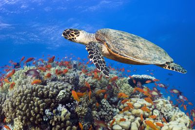 A hawksbill turtle swims over a coral reef in the Red Sea