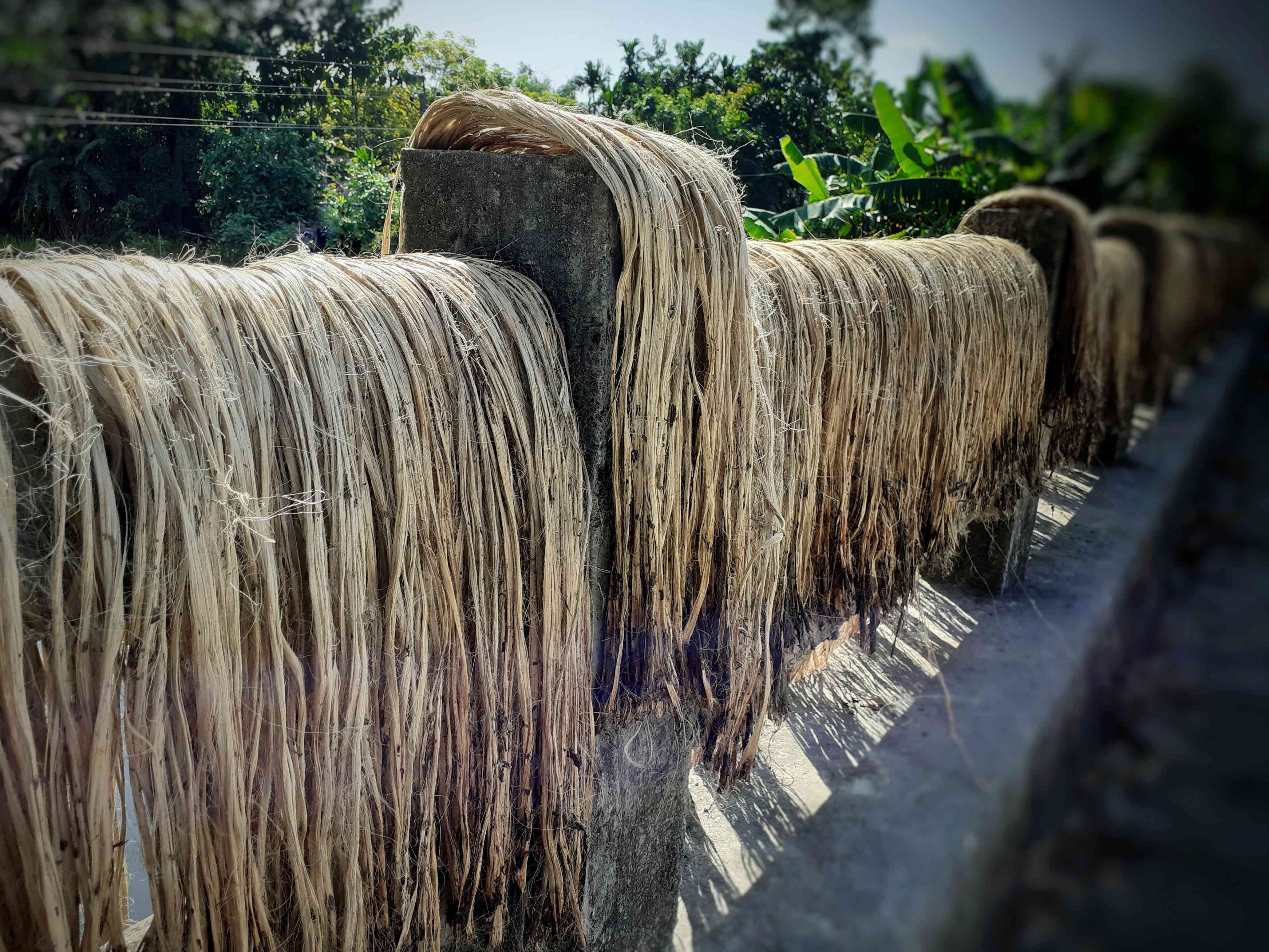 Raw jute fiber hanging for sun drying