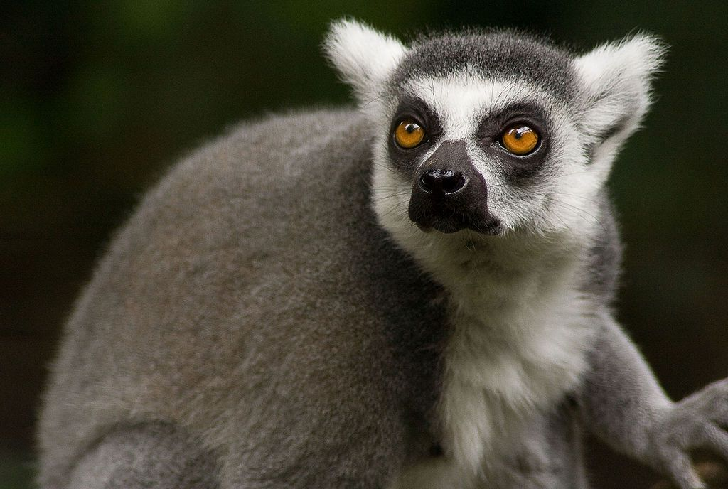 grey monkey with white cat like ears and black rings around the eyes partially turned toward camera on a black background