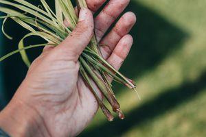 hands with dirt flecks hold stalks of dried lemongrass