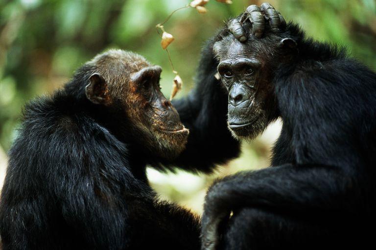 Los chimpancés, como las personas, se vuelven exigentes con los amigos a medida que envejecen