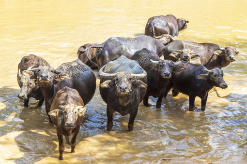 herd of water buffalo, in Sukhothai province (Thailand)