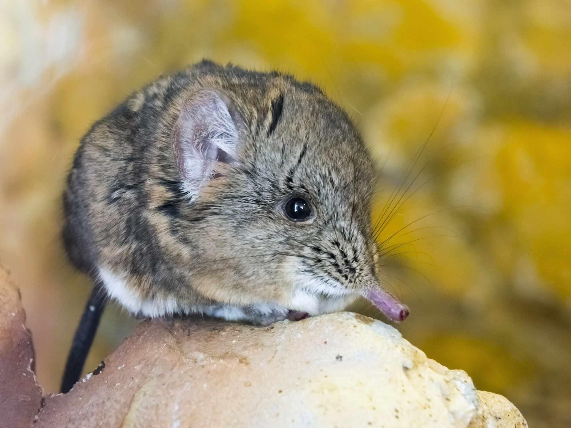 cute brown elephant shrew with long nose sits on rock