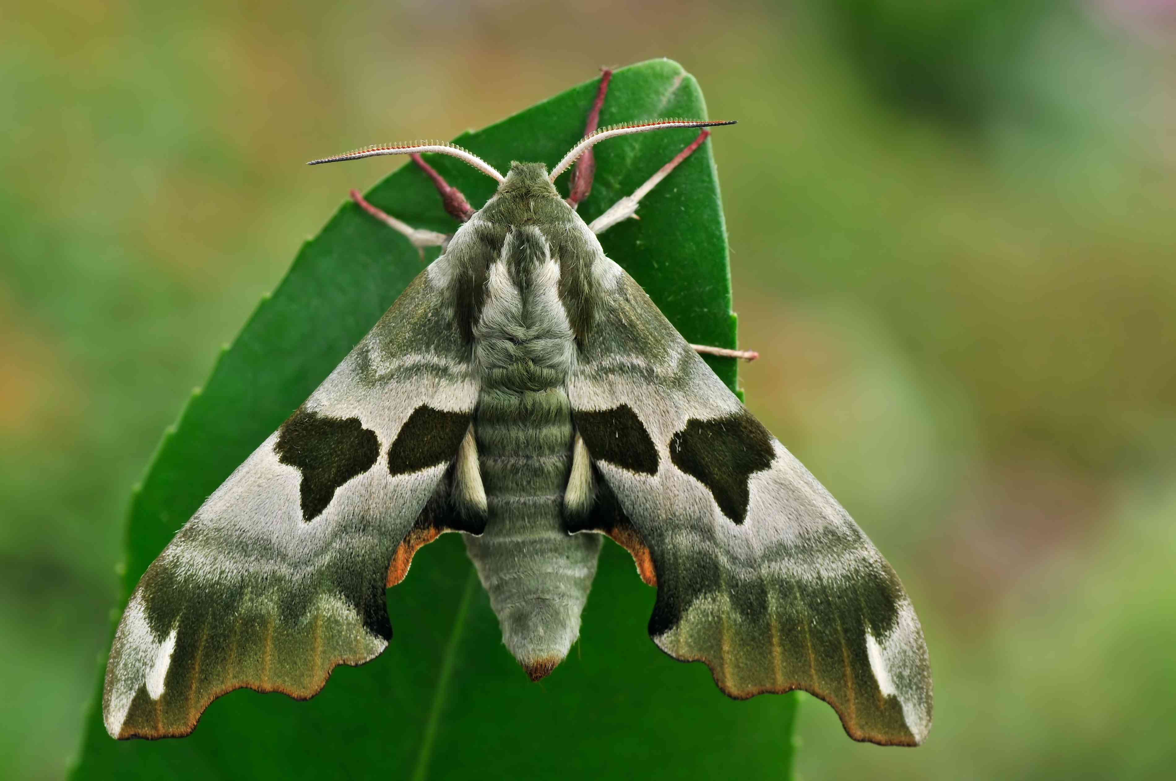 A green and white moth sits on a bright green leaf