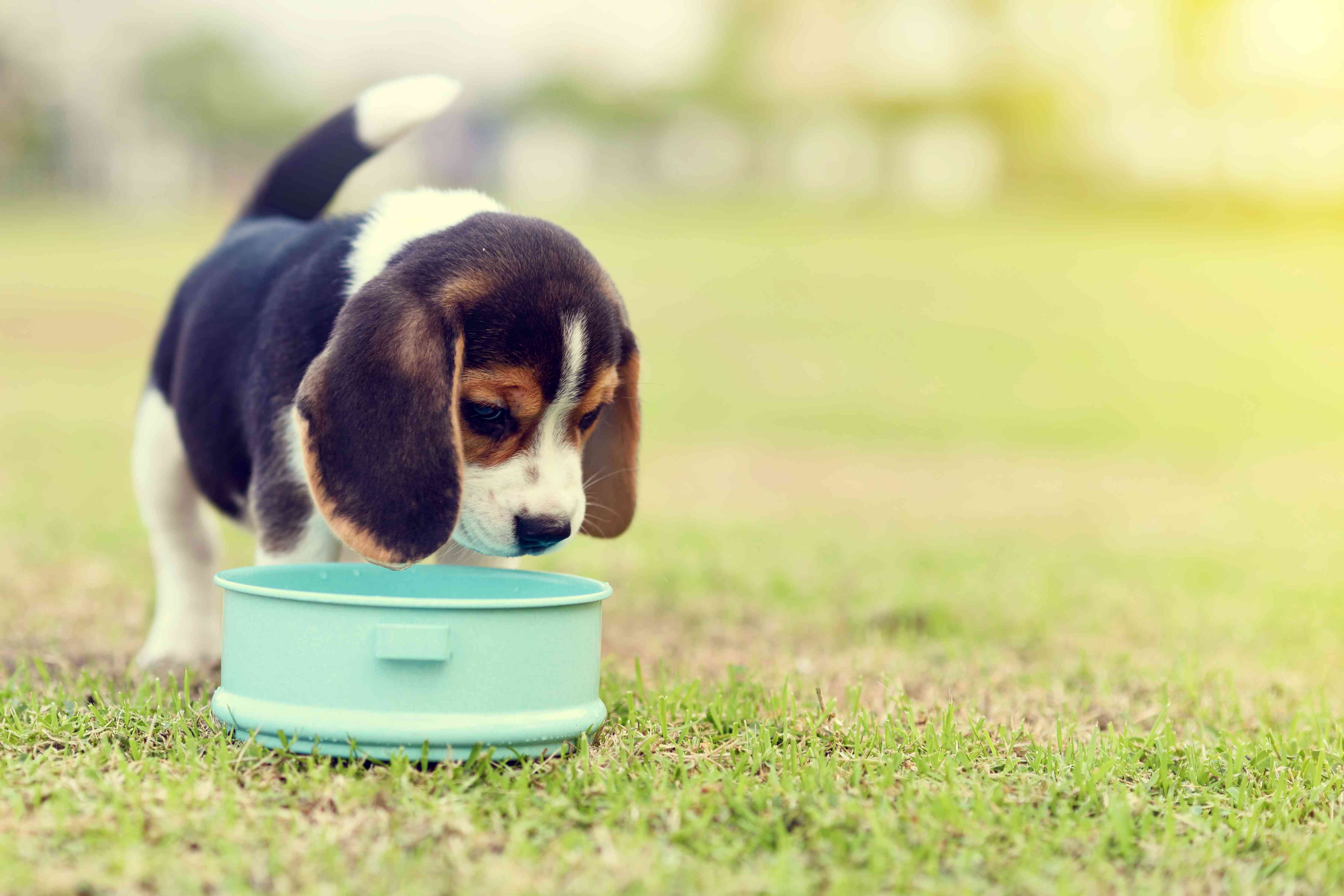 puppy eating in the grass