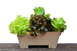 Four lettuce varieties in a flower pot on a wooden table