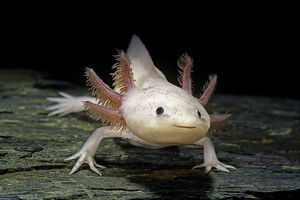 Close up of a pink axolotl on a piece of wood.