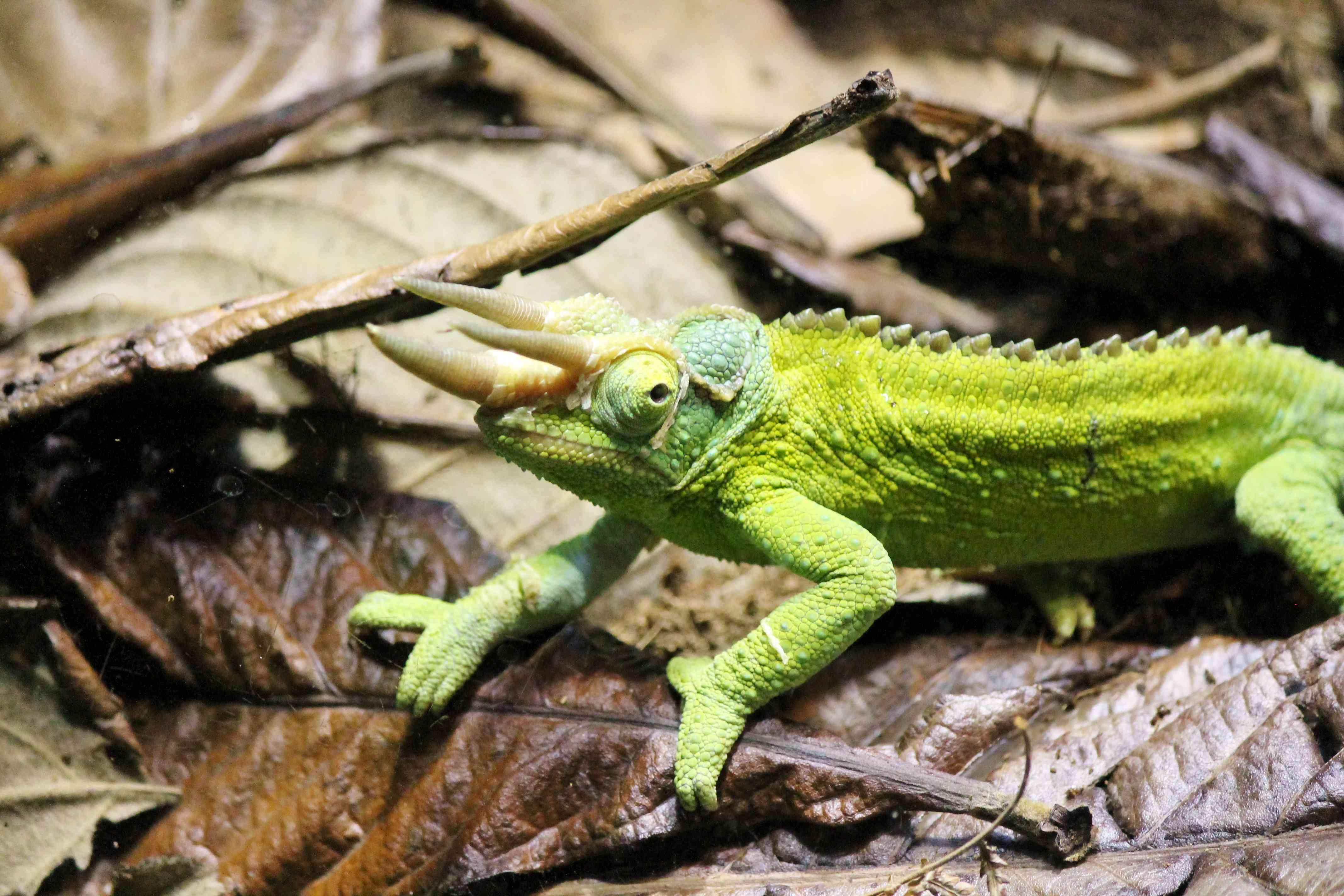Green rhinoceros chameleon on leaves