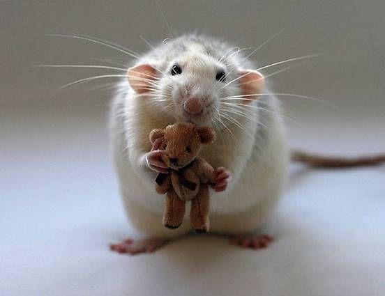 A rat holds a teddy bear