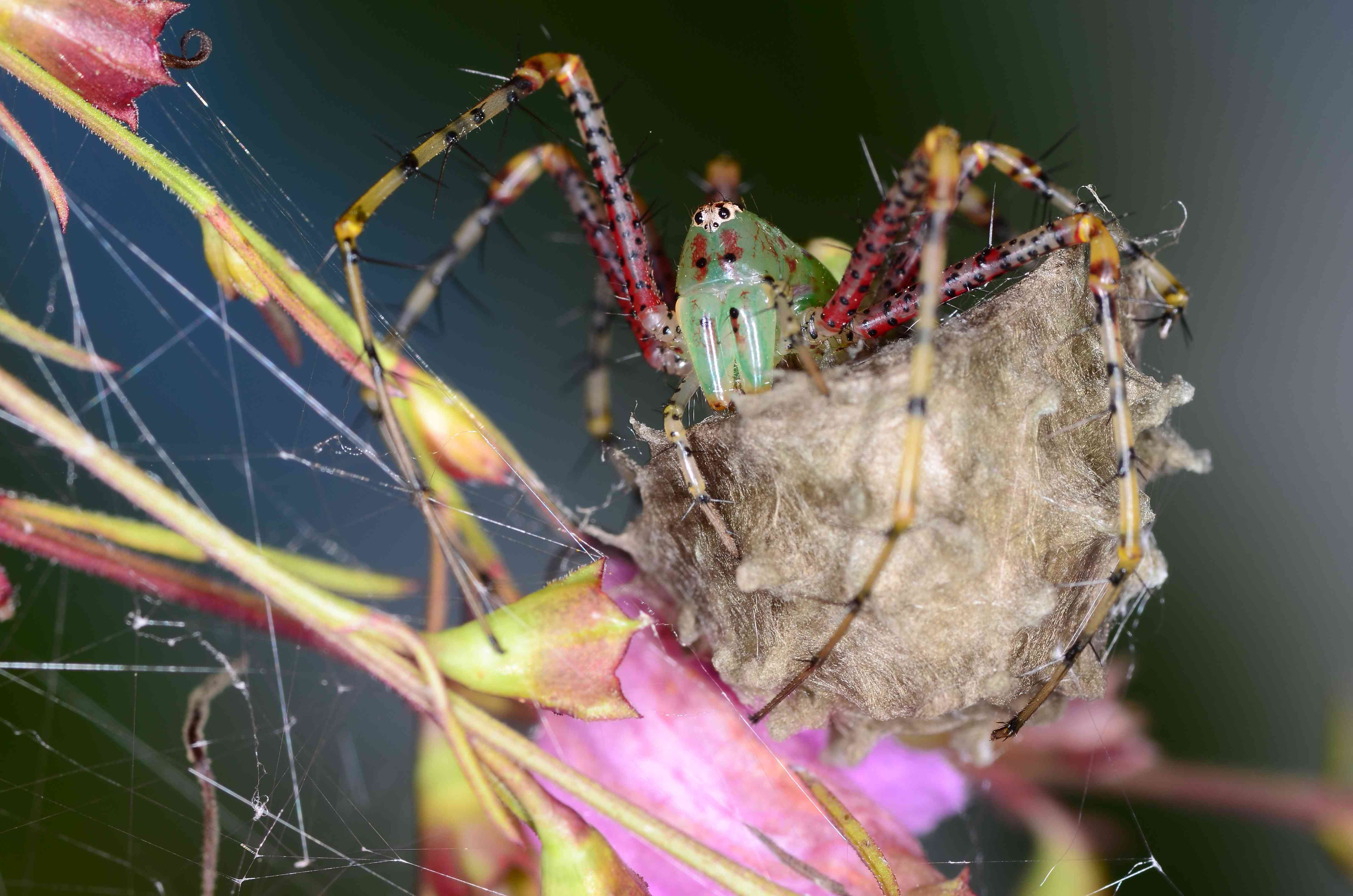 A green lynx spider faces the camera as she protects her egg sac in Franklin County, Florida.