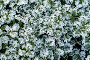 Lingonberry leaves in the snow