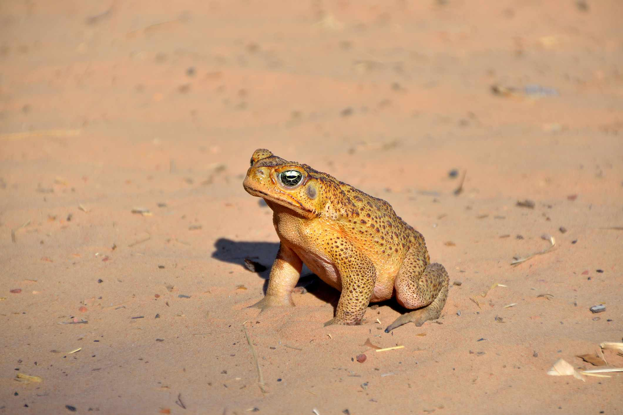 A large yellow toad with brown spots standing in the sand
