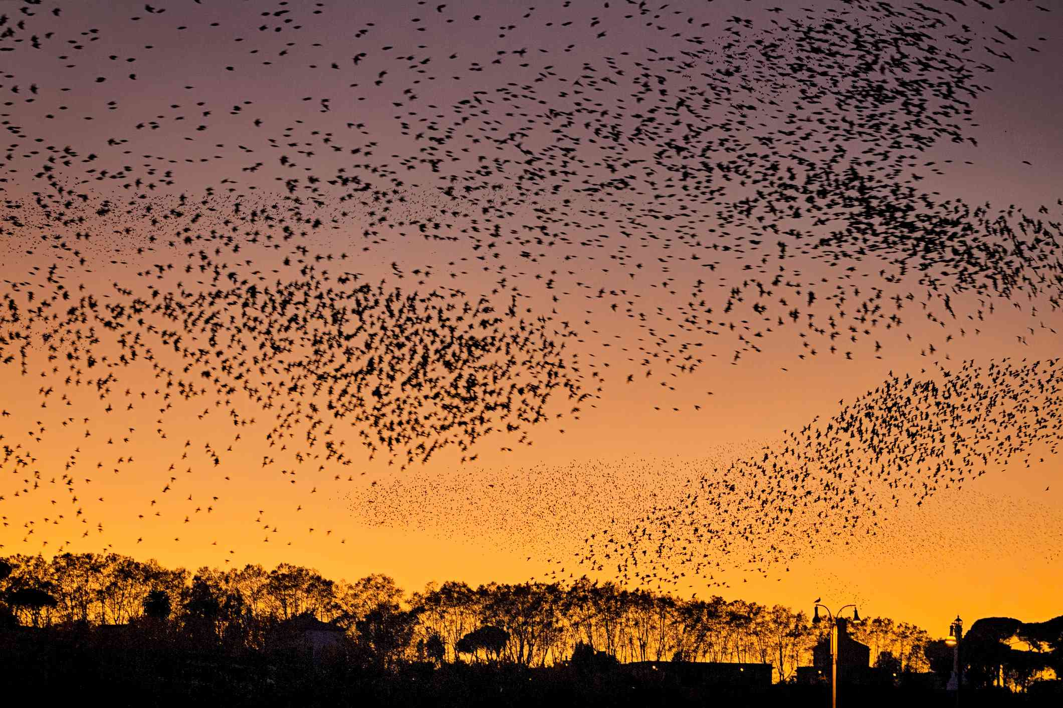 a large flock of European starlings cover much of the sky at sunset over a field to trees near Rome
