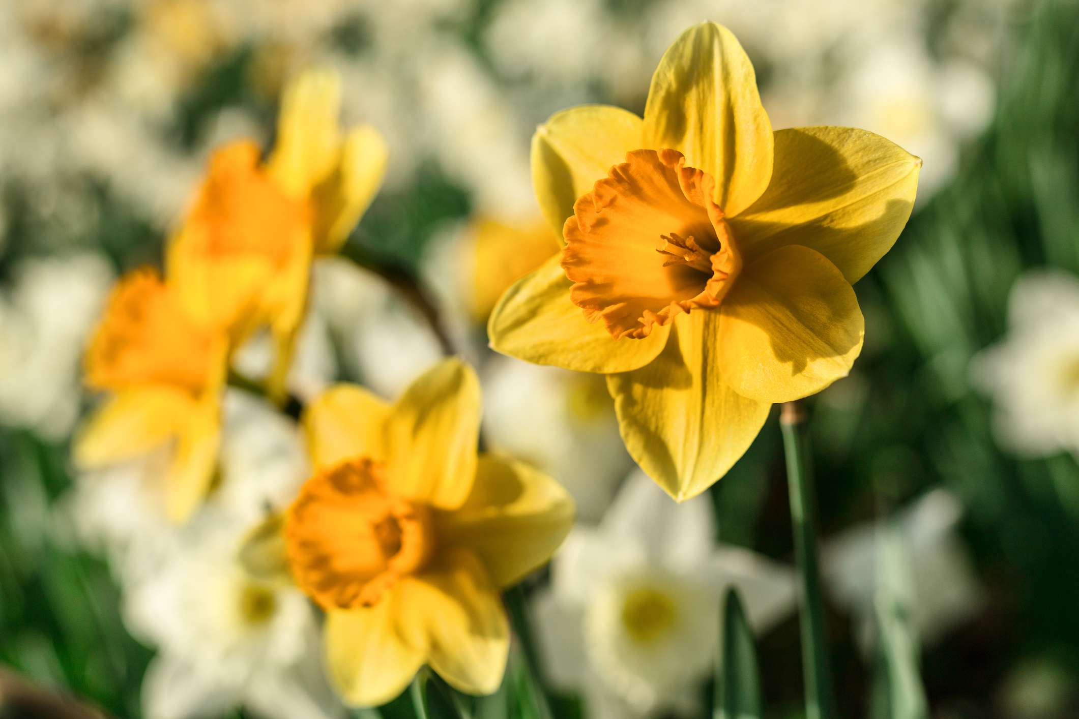 Yellow and white daffodils growing in garden