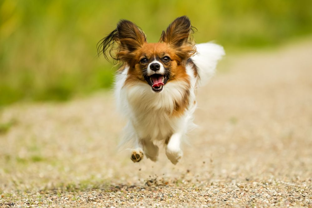 brown and white Papillon running on a gravel pathway next to grass