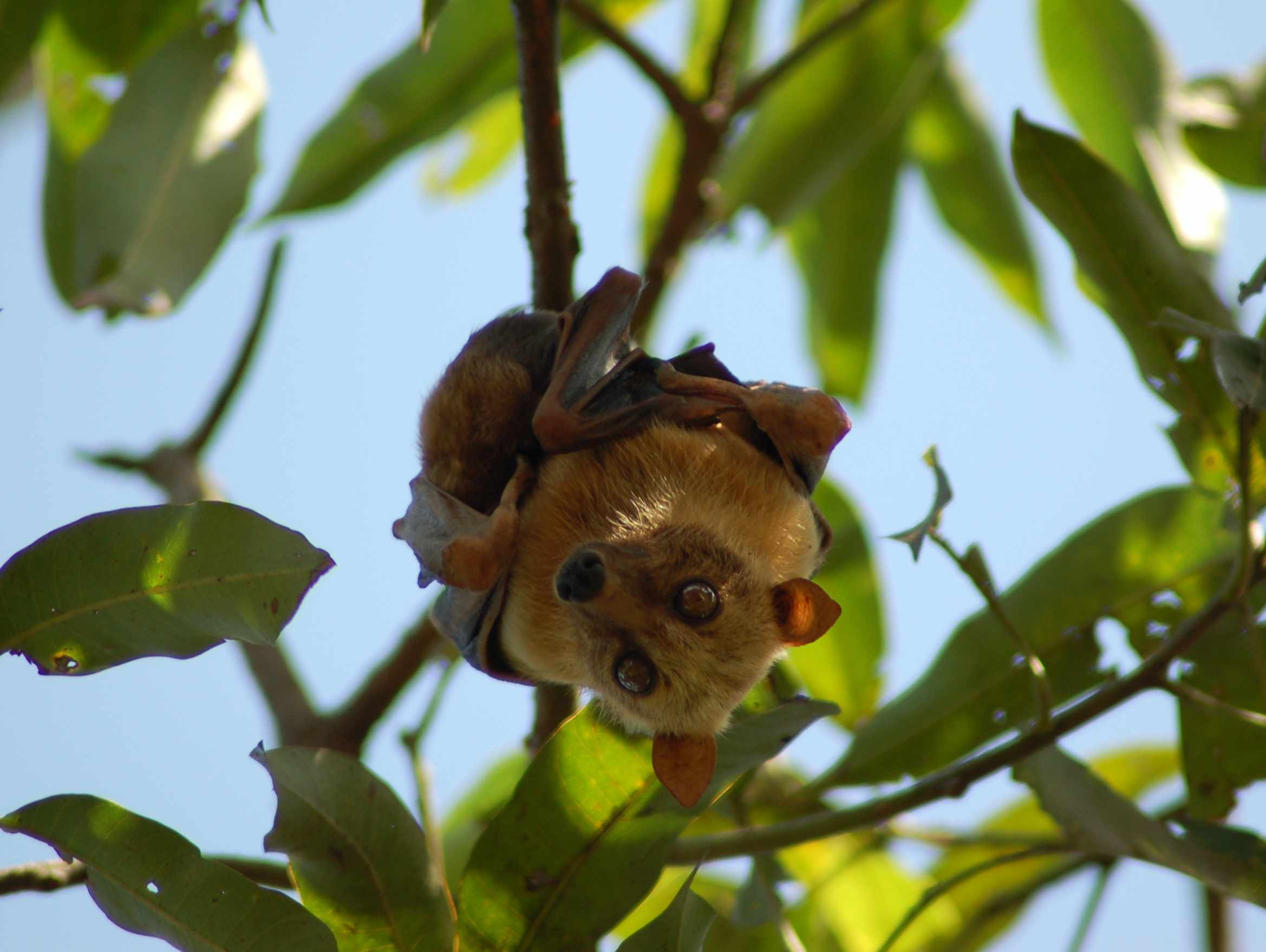 A golden-furred flying fox hangs from a tree branch