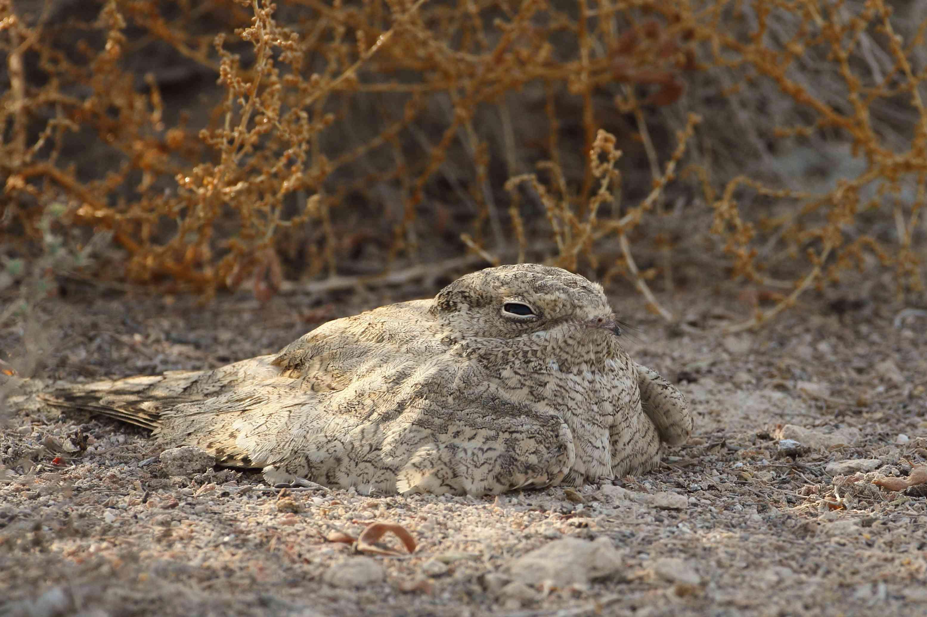 tan nightjar bird sits on sandy ground and looks away