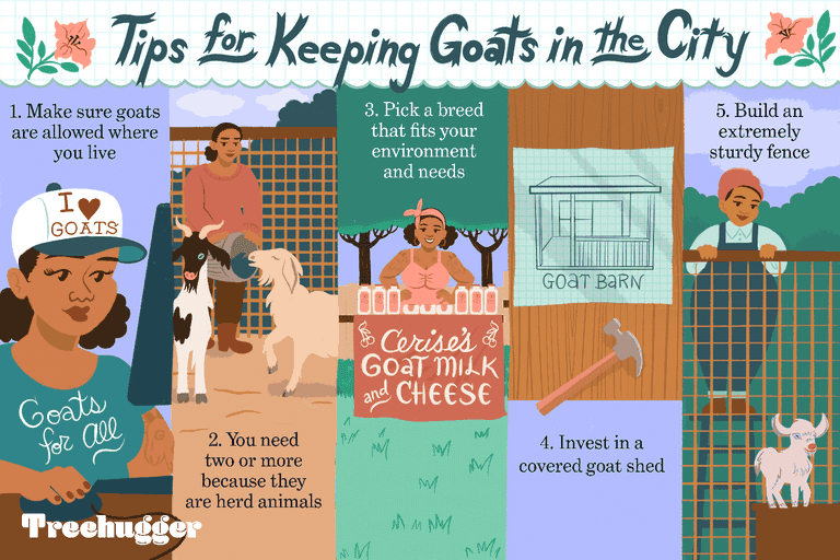 tips keeping goat in city illo