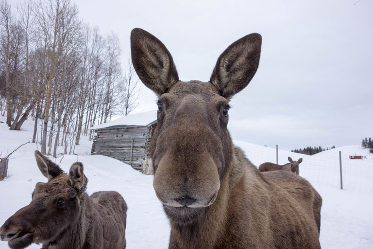 Moose milk is high in beneficial minerals.
