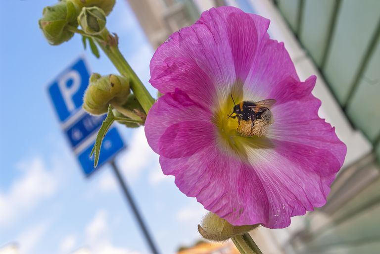 Bumblebee in city