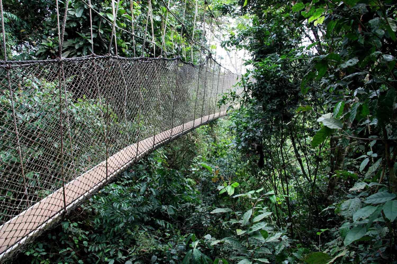 A foot bridge crosses the canopy of a jungle
