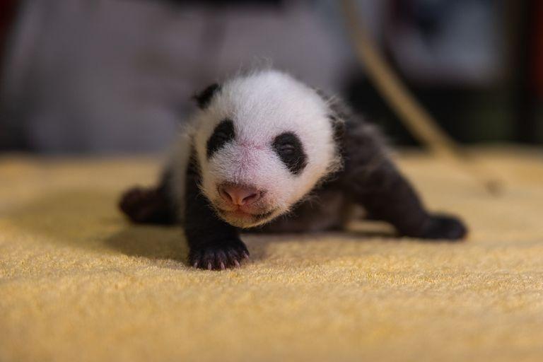 Zoológico nacional revela que Panda Cub es un niño