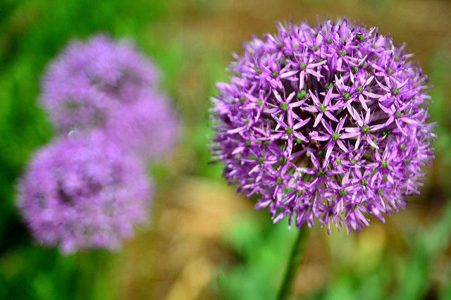 allium, plants that repel insects