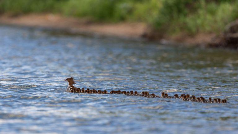 'Super mamá' vista en un lago de Minnesota - Con 56 patitos en remolque