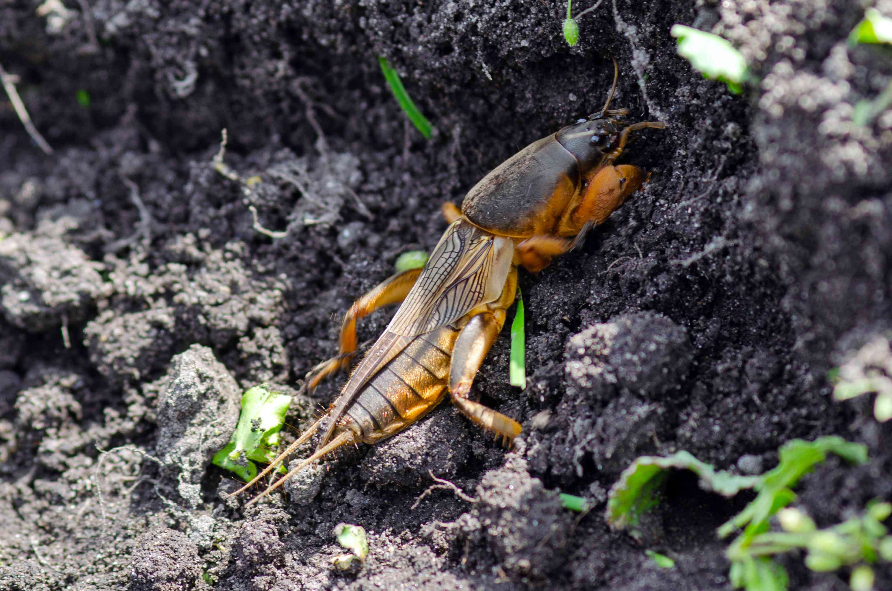 long brown and tan mole cricket climbs through dirt
