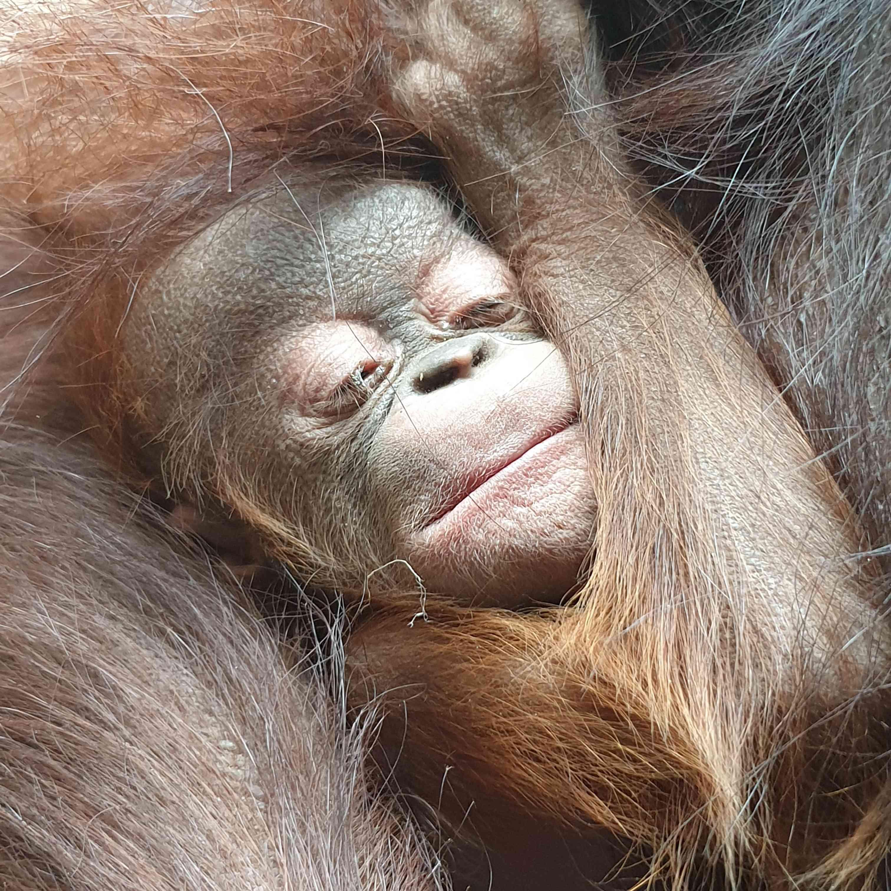 orangutan baby at Chester Zoo