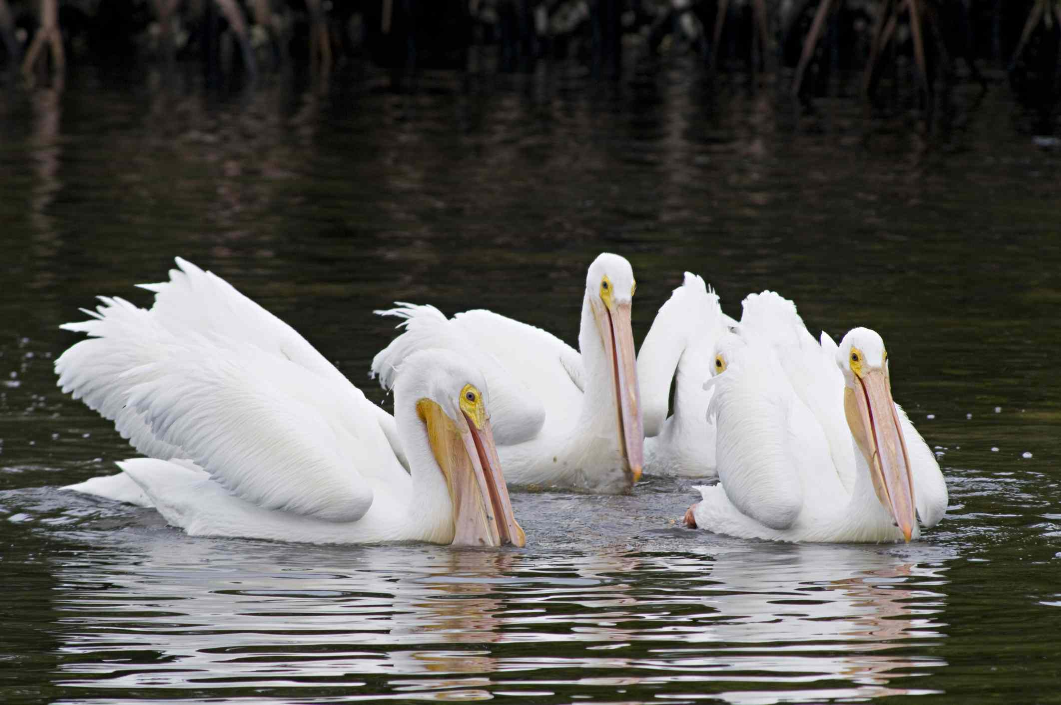 Pelicans eating while floating on top of water next to a mangrove.