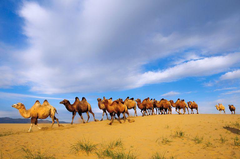 5 hechos raros sobre los camellos