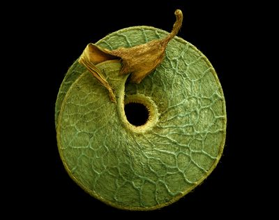 electron microscope photographs of pollen seeds fruit by Rob Kesseler
