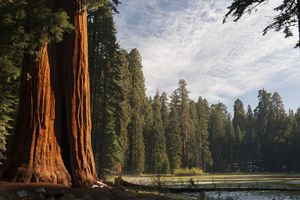 Giant sequoia trees, Sequoia and Kings Canyon National Parks