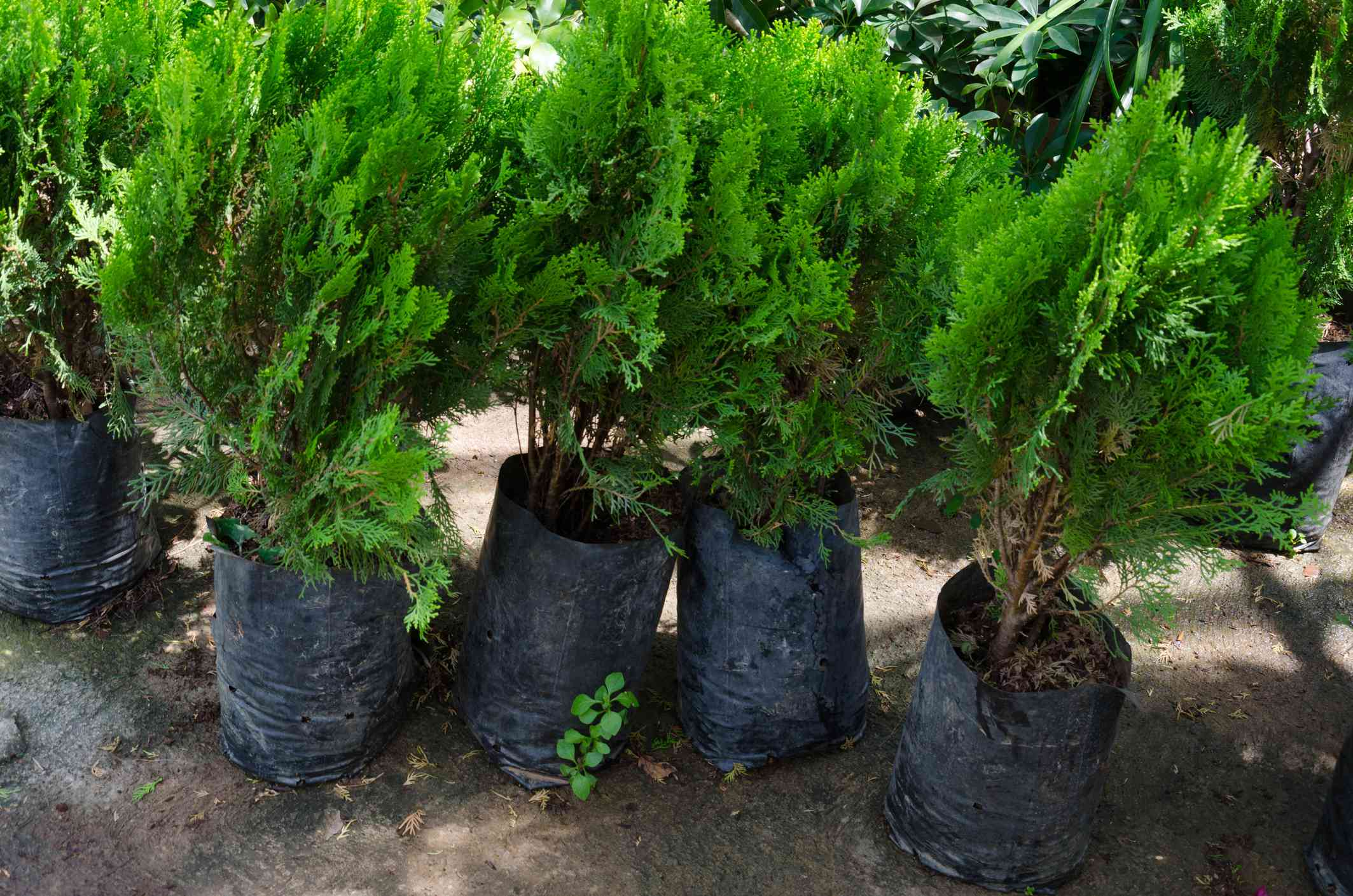Thuja trees lined up in bags for planting.