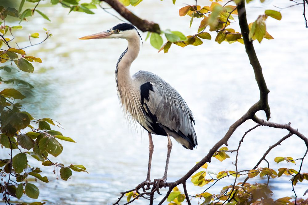 Gray heron in a tree against a lake