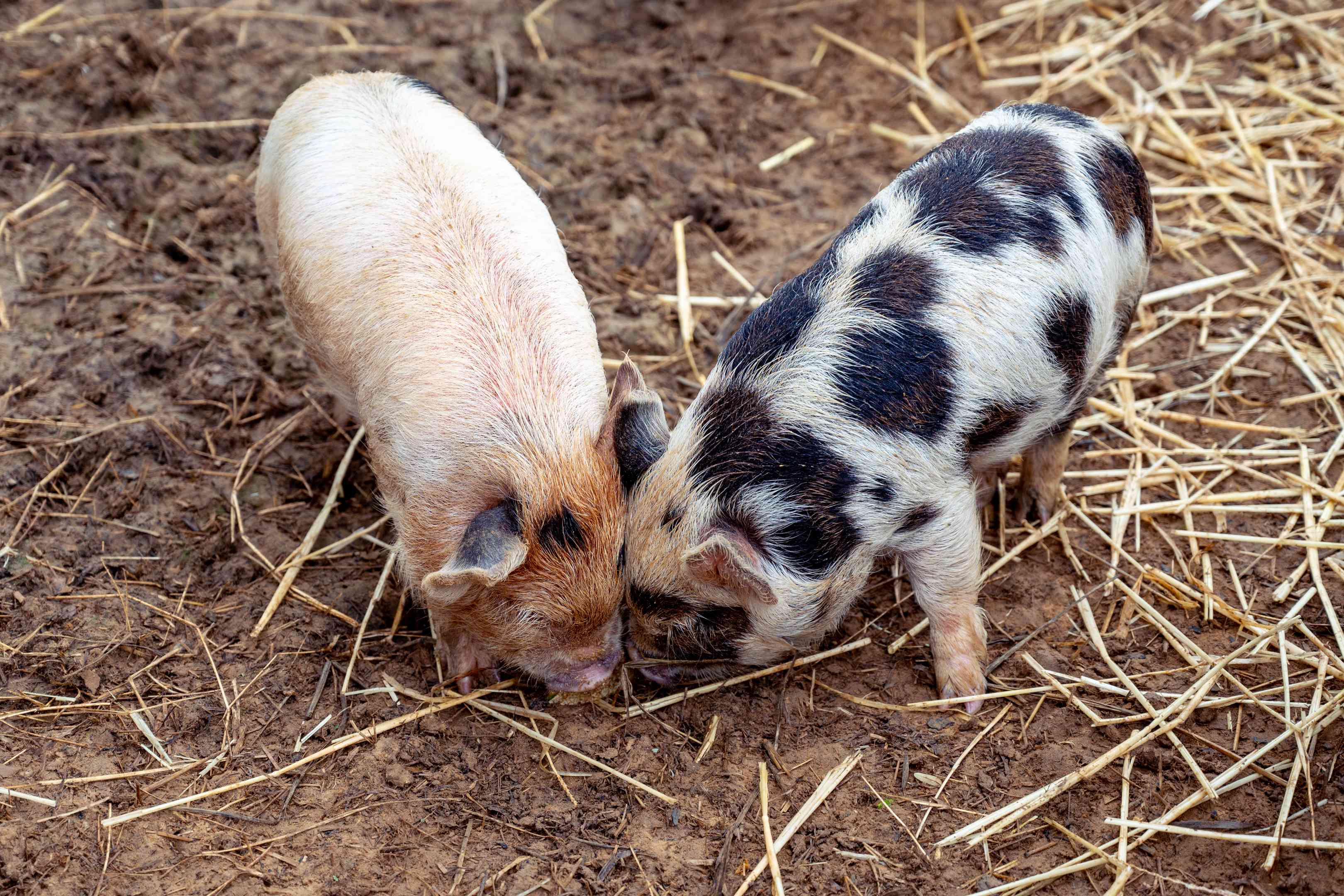 two baby pigs bury snouts in muddy, straw-covered ground